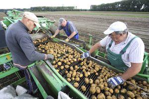 Bei der Ernte packen die Älteren kräftig mit an. Doch generell fehlen Jobs für Arbeitnehmer 50 plus. Foto: epd