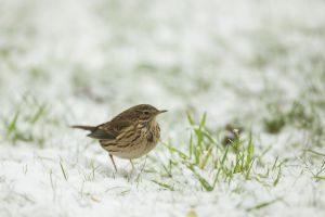 Ein seltener Gast bei der Vogelzählung: Wiesenpieper (Anthus pratensis) auf schneebedecktem Gras. Foto:epd